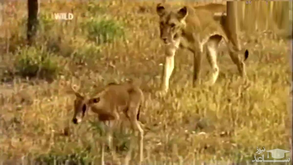 (فیلم) شیر ماده یک بچه آهو را به فرزندخواندگی پذیرفت