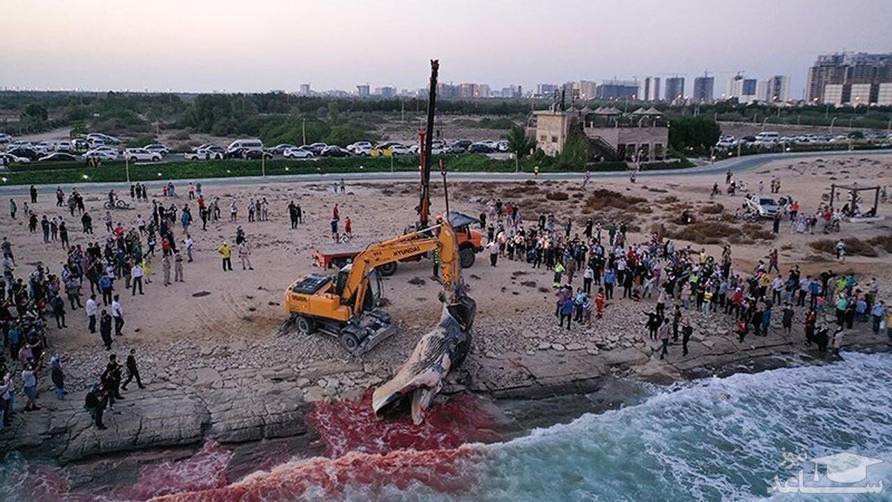 (فیلم) پیدا شدن لاشه نهنگ ۵ تنی در سواحل جزیره کیش