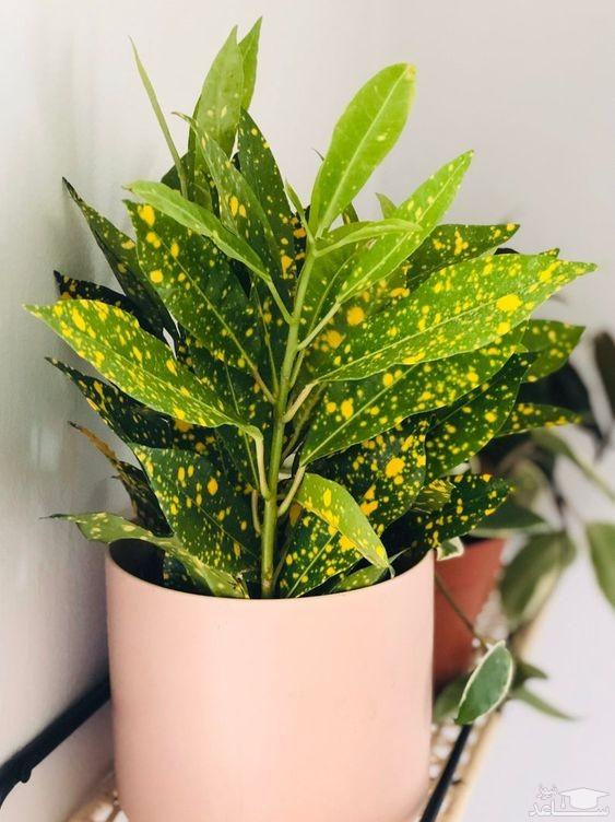 گیاه آکوبا (نگهداری + پرورش)