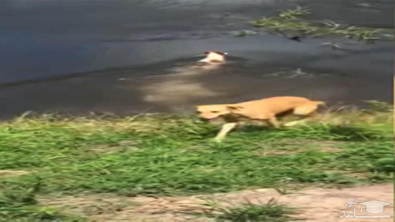 (فیلم) حمله کروکودیل به یک سگ خانگی در جلوی چشم صاحبش