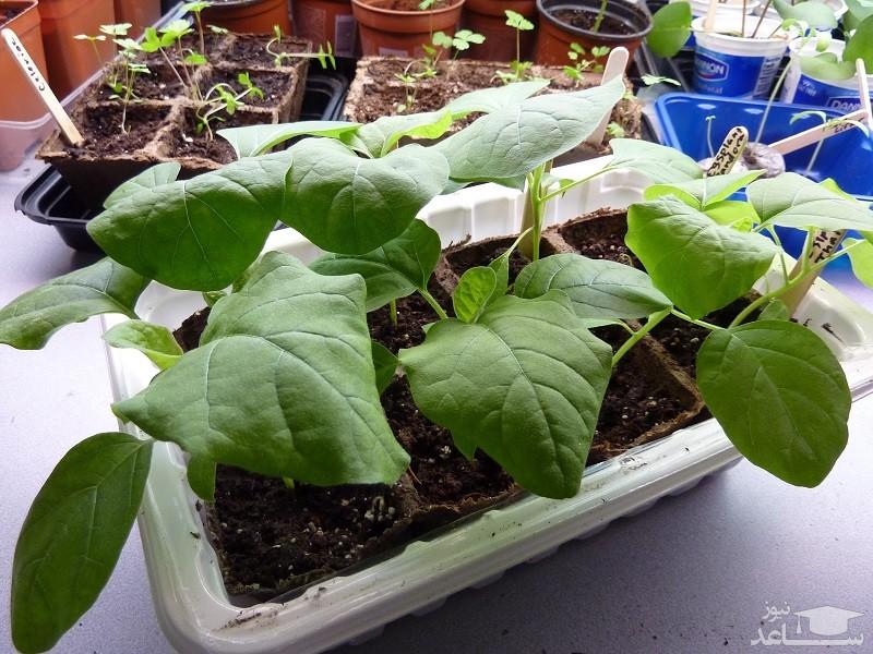گیاه بادنجان (نگهداری + پرورش)