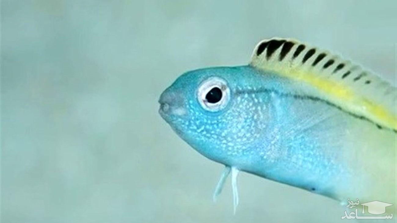 نیش این ماهی کوچک مثل هروئین است!