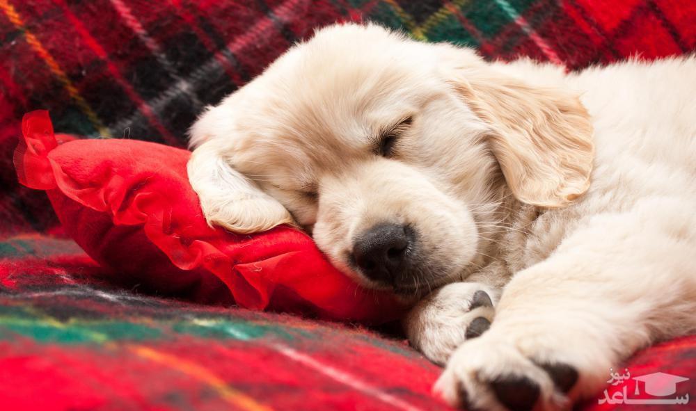 آموزش خوابیدن به سگ خانگی