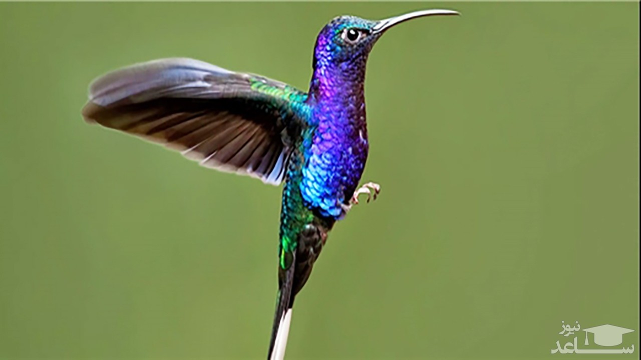 (فیلم) پرندهای خارقالعاده که میتواند در یک دقیقه ۶۲ بار رنگ عوض کند