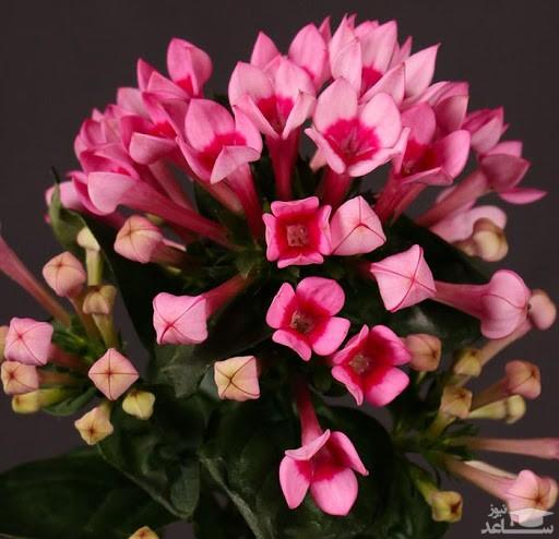 گل بواردیا (نگهداری + پرورش)