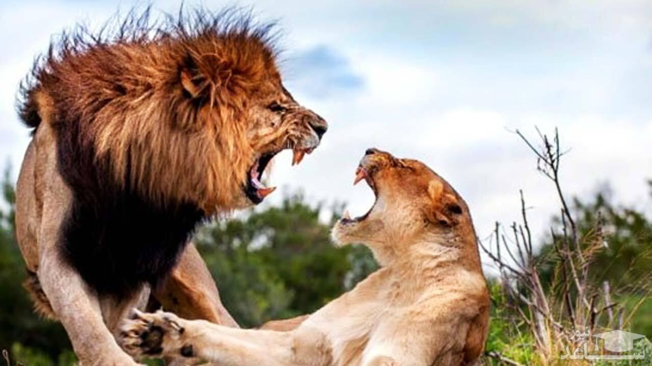 (فیلم) حمله وحشیانه چند شیر ماده به یک شیر نر