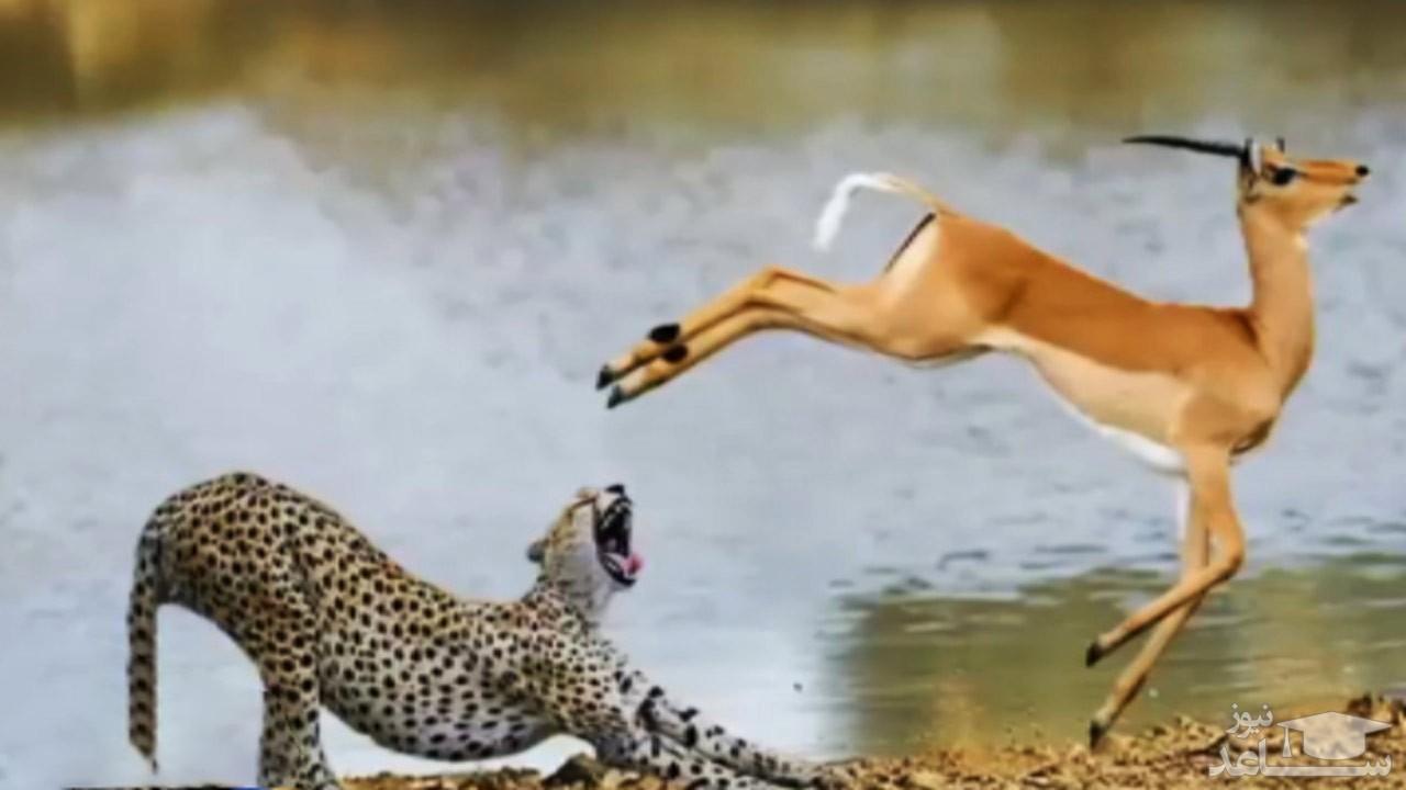 (فیلم) مردود شدن بچه یوزها در آموزش عملی شکار!