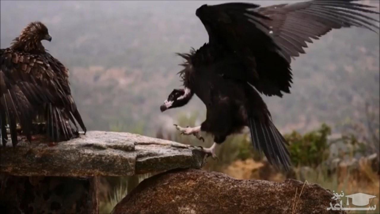 (فیلم) دعوای عقاب طلایی با کرکس سیاه بر سر غذا