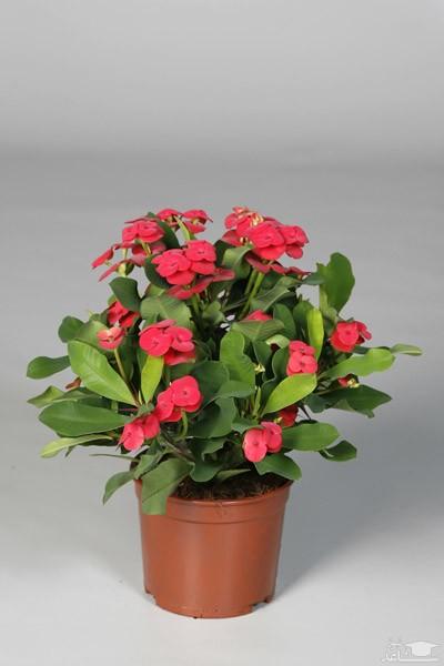 گل مرجان (نگهداری + پرورش)
