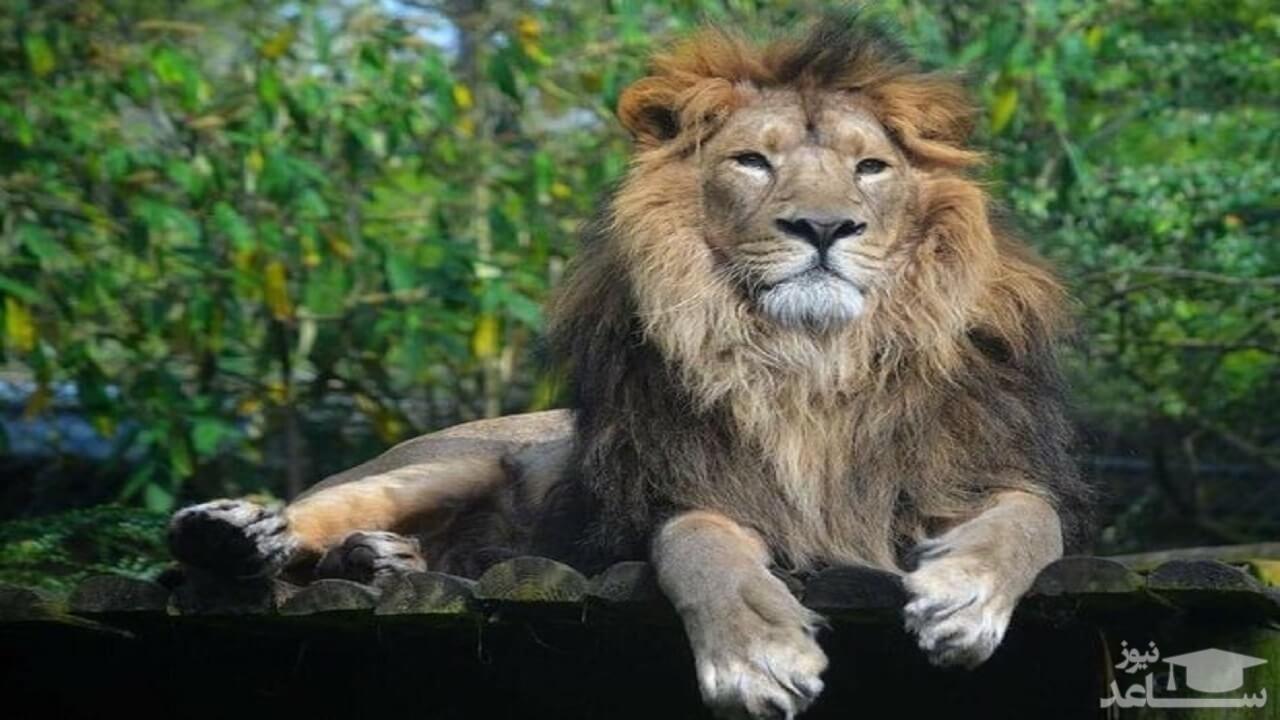 (عکس) وقتی سلطان جنگل پا به فرار گذاشت
