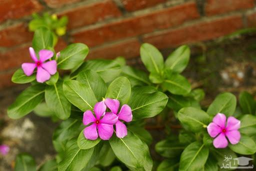گل پریوش (نگهداری + پرورش)