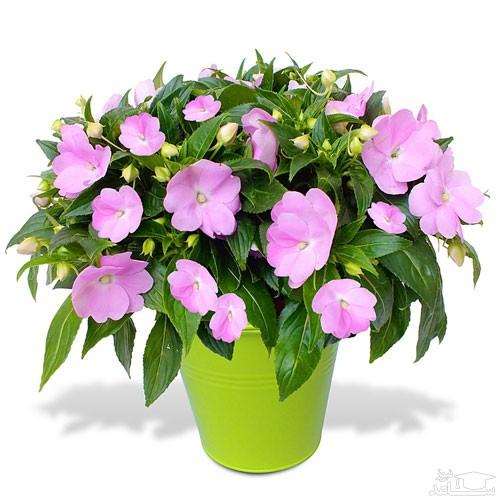 گل حنا (نگهداری + پرورش)
