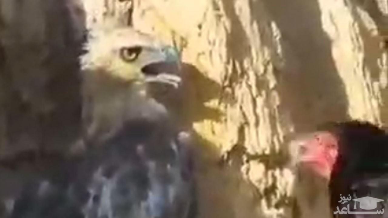 فیلم نادر از درگیری شدید عقاب و مرغ