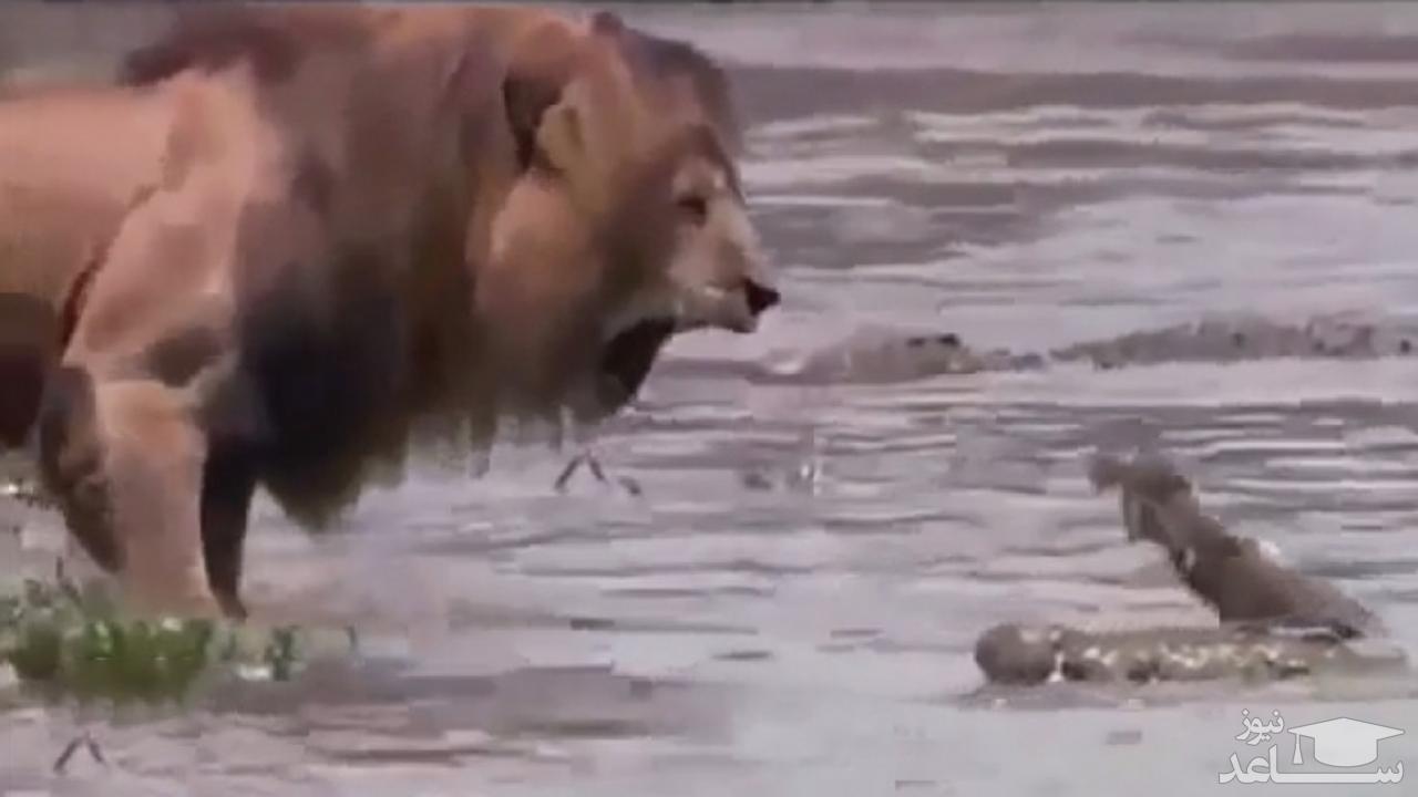 (فیلم) رویارویی وحشت آور شیر با تمساح