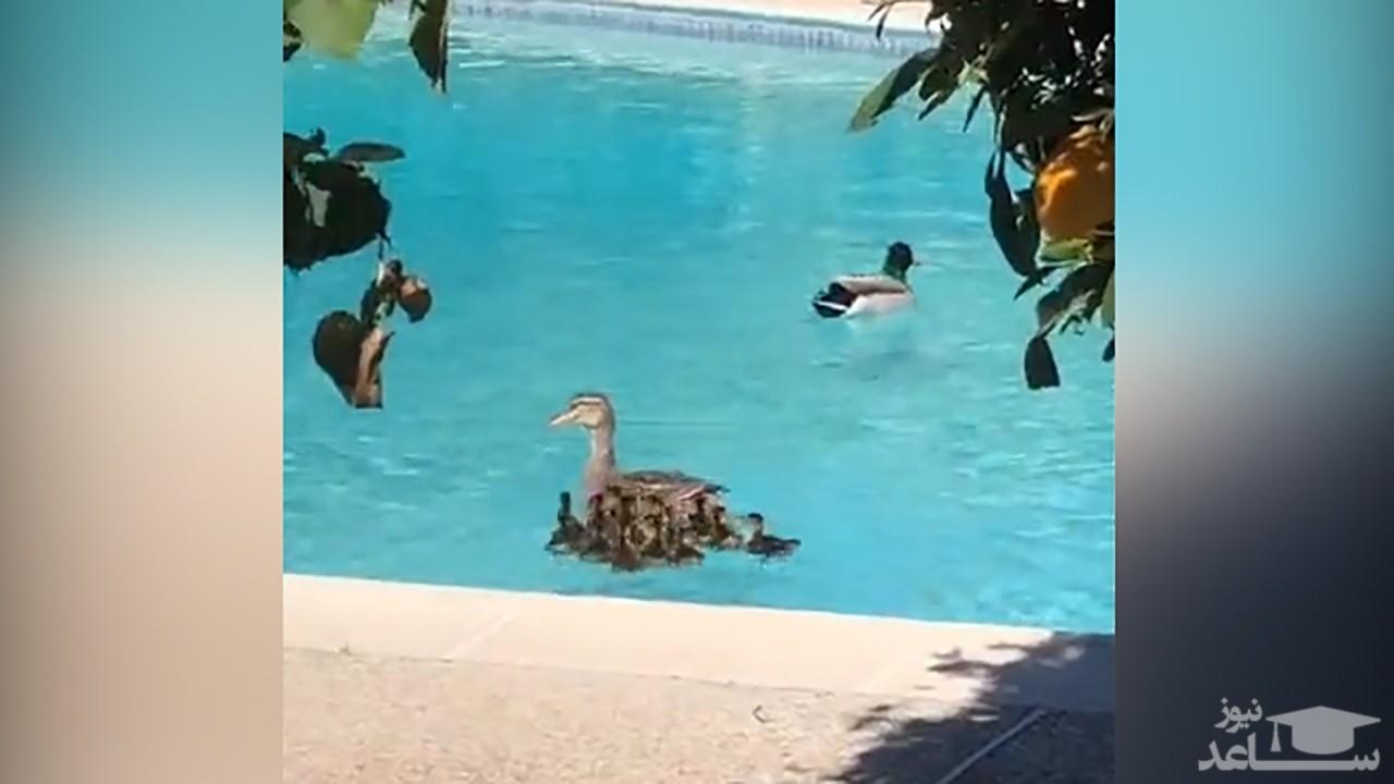 (فیلم) نجات جوجه اردکها از داخل چاه توسط یک مرد خوش قلب