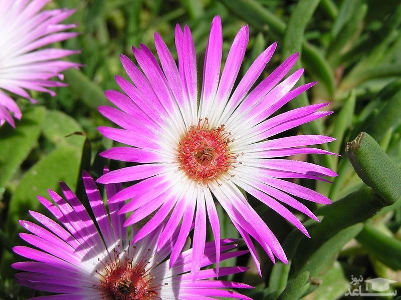 گل یخ در بهشت (نگهداری + پرورش)