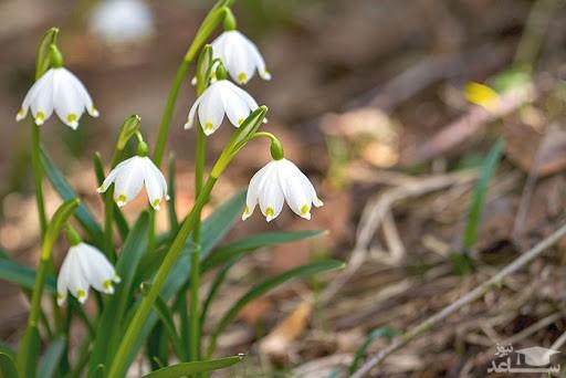 گل بهمن (نگهداری + پرورش)