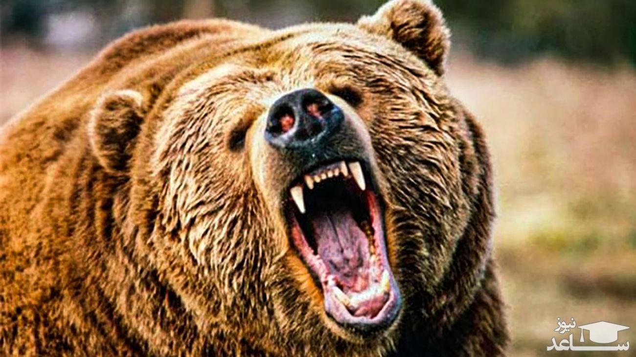 (فیلم) مبارزه دیدنی ۲ خرس غول پیکر با یکدیگر