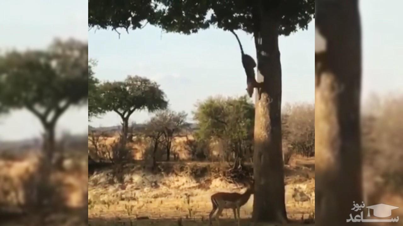 (فیلم) کمین دیدنی پلنگ از روی درخت برای شکار ایمپالا