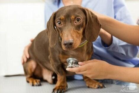 بیماریاکلامپسی در سگ ها