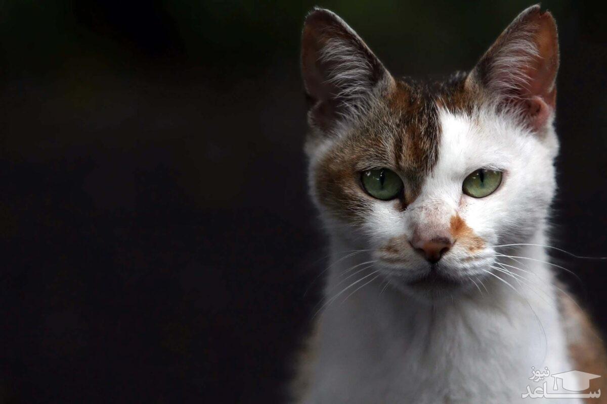 درماتوفیت گربه