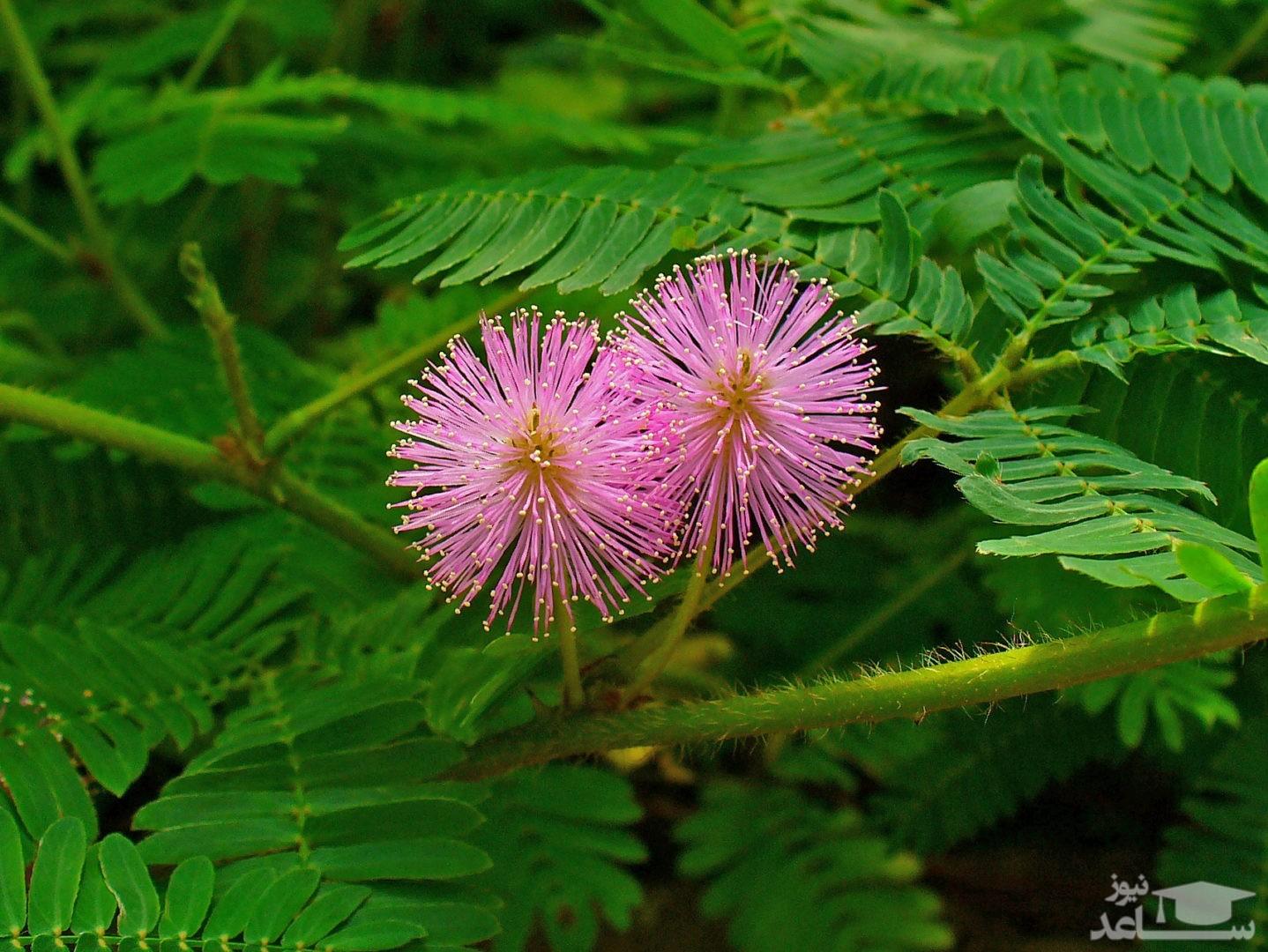 گل قهر و آشتی (نگهداری + پرورش)