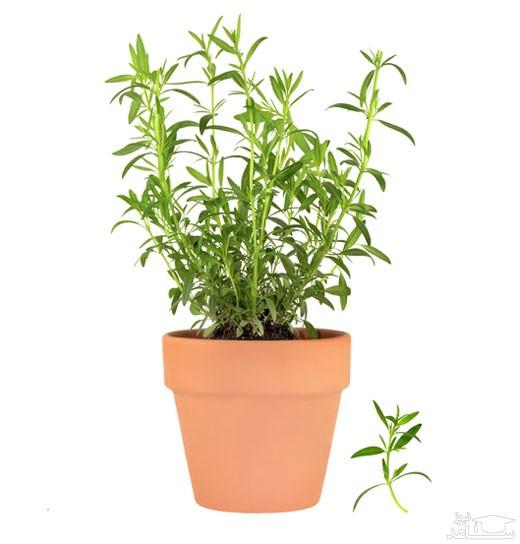گیاه ترخون (نگهداری + پرورش)