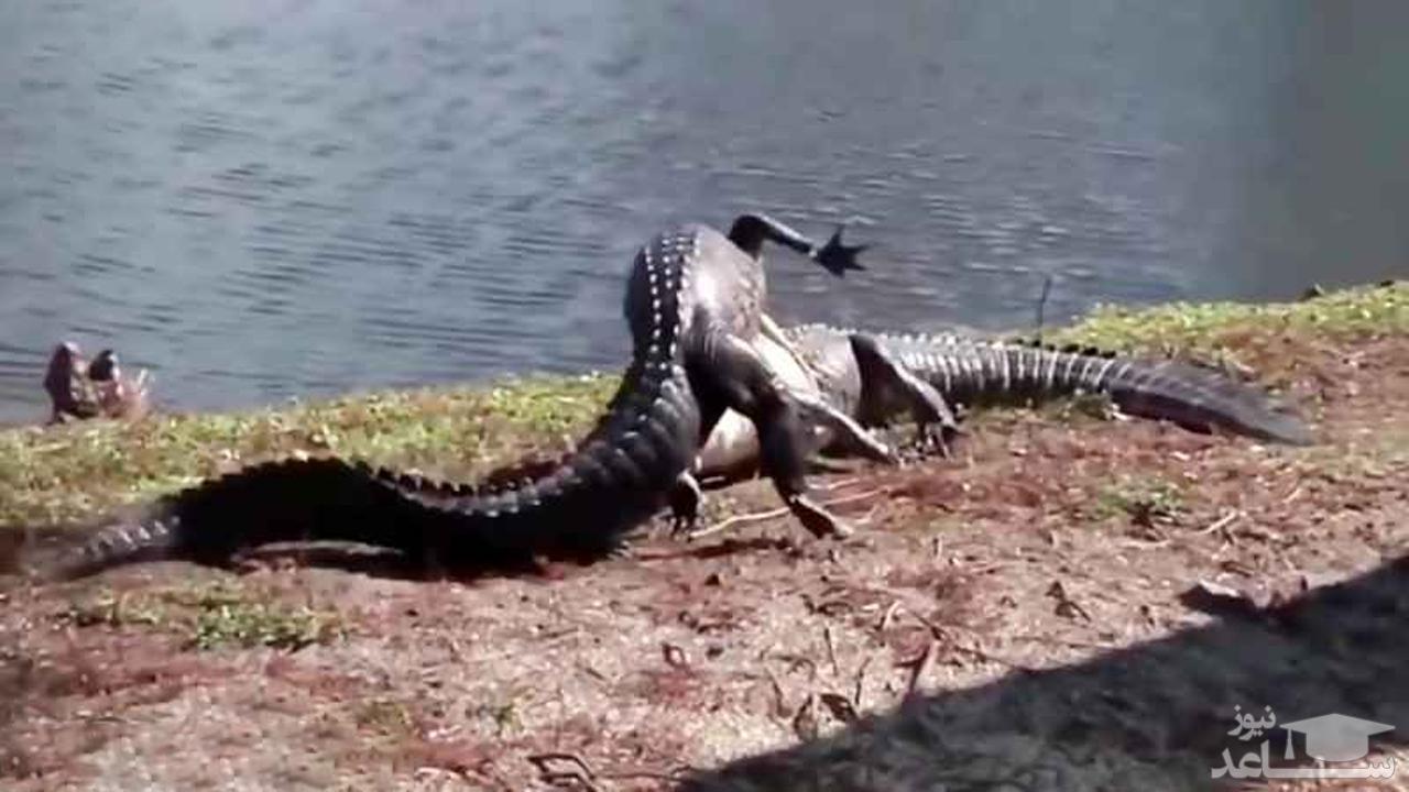 (فیلم) حمله قدرتمندانه کروکودیل به همنوعش