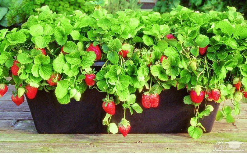 کاشت توت فرنگی در گلدان (نگهداری + پرورش)
