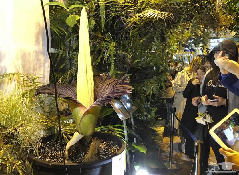 """تماشای شکوفه دادن گل بدبو """"تیتان آروم"""" در باغ گیاه شناسی ورشو لهستان. این گل نادر بویی شبیه به گوشت فاسد دارد./ آسوشیتدپرس"""