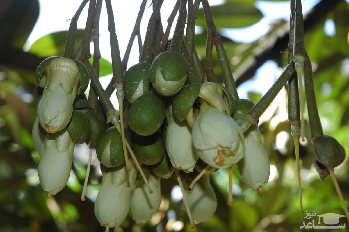 قهوه سودانی (نگهداری + پرورش)