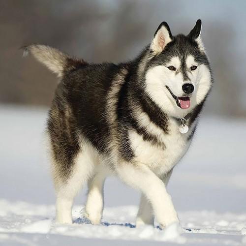علائم اختلالات تیروئید در سگ ها و روش های درمان