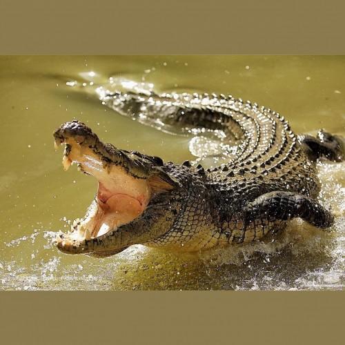 عمل جراحی تمساح ۱۵۸ کیلویی