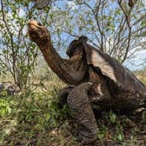 (فیلم) بازگشت لاک پشتهای در حال انقراض به محل زندگیشان