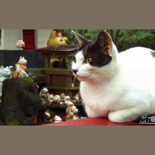 (عکس) بامزه از گربهی ماسک دار در روزهای کرونایی