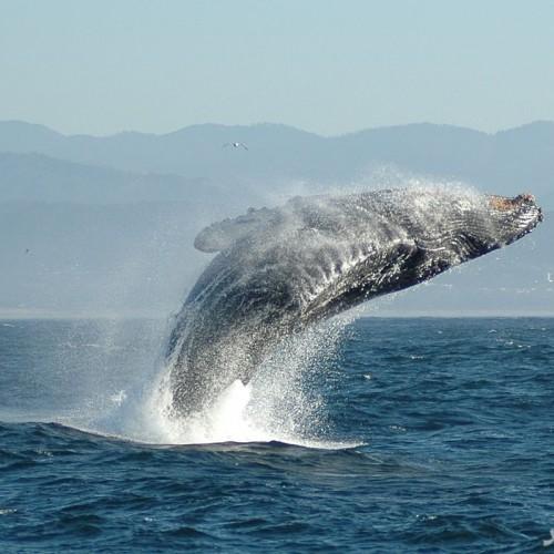 (عکس) بزرگترین موجود زنده دنیا به اندازه یک هواپیمای بوئینگ