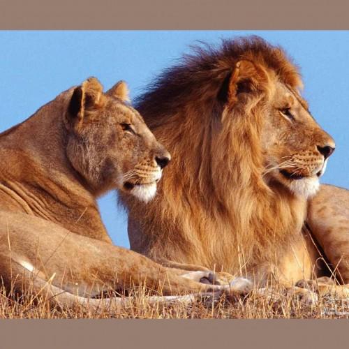 (عکس) دعوای خانوادگی شیرها در حیات وحش!
