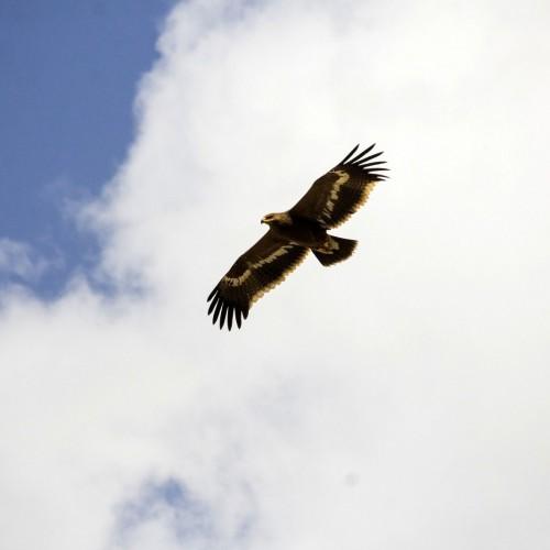 (عکس) یکی از بزرگترین عقابهای جهان