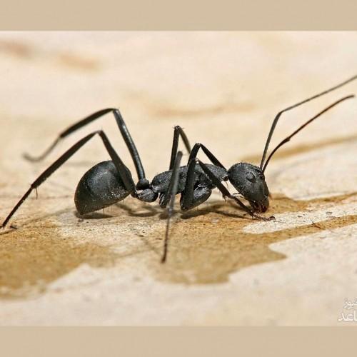 (عکس)  مورچهای در حال شکار زنبور