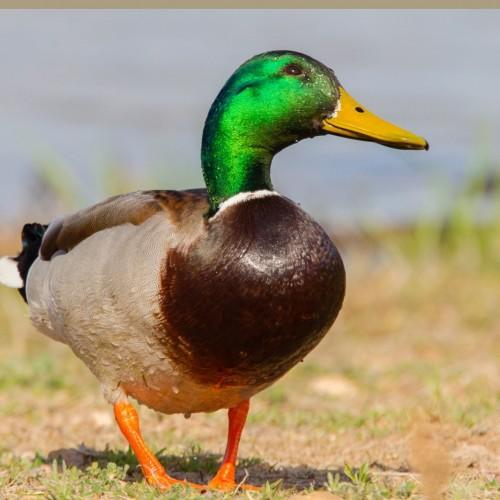 (عکس) نحوه بارگیری اردک در کامیون