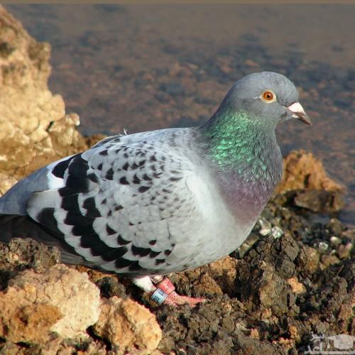 (عکس) نجات کبوتر در هند