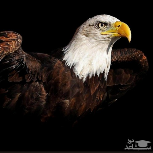 (عکس) پرواز دیدنی عقاب ها در آسمان