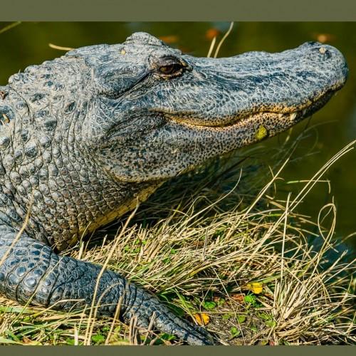 (عکس) تمساح با پوست کاملا سفید رنگ