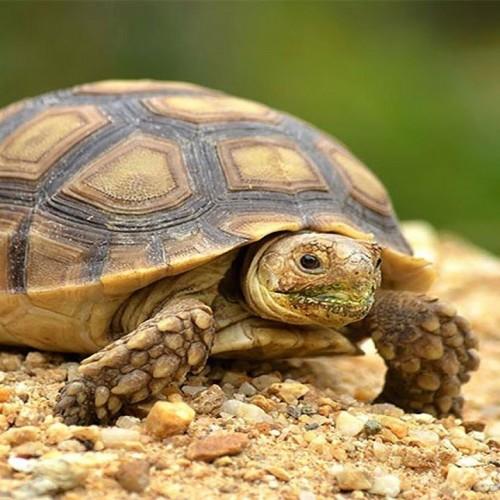 (عکس) تصویری زیبا از بالا آمدن لاکپشت برای نفس کشیدن