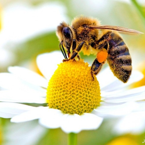 (عکس) زیباترین زنبور جهان،زنبور دم یاقوتی