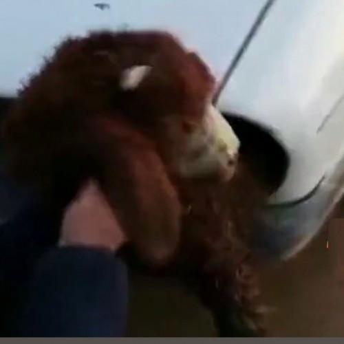 (فیلم) عجیبترین روش قاچاق گوسفند در ترکیه!
