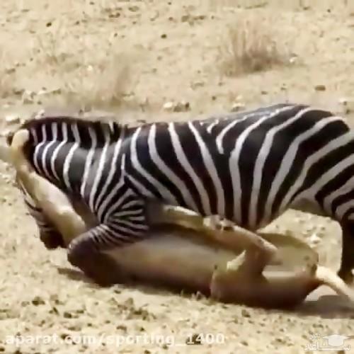 (فیلم) استتار دیدنی شیرها برای شکار گورخر