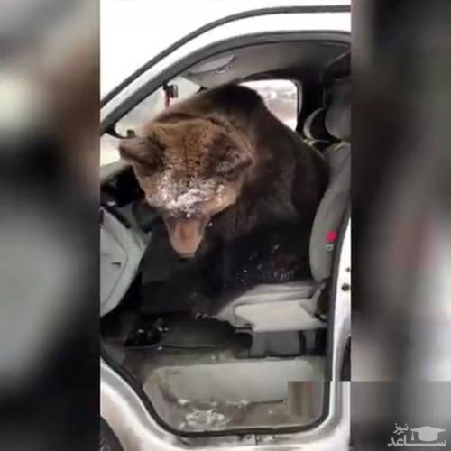 فیلم باورنکردنی از پشت فرمون نشستن خرس!