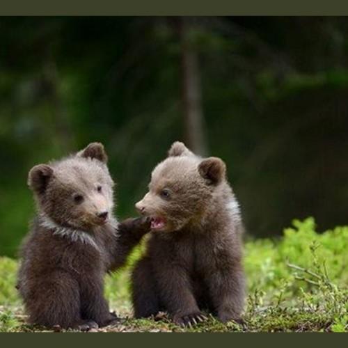 (فیلم) بازیگوشی دیدنی دو توله خرس در وسط جاده