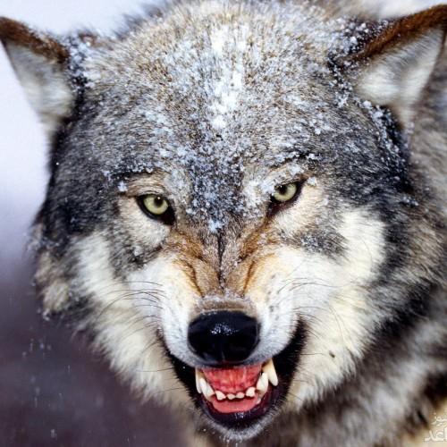 (فیلم) به دام افتادن یک حیوان آزار توسط گرگ